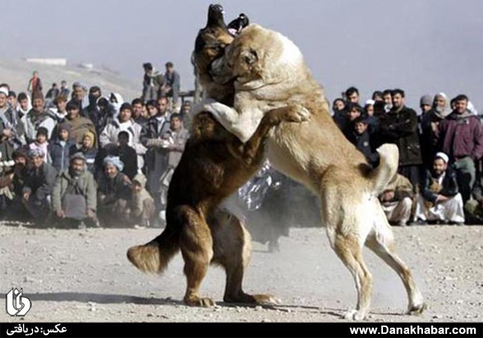 سگ دعوا